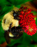 Bumble Bee on Crimson clover