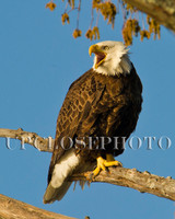 Bald Eagles and Blue Sky