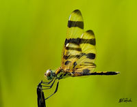 YellowDragonflyW.jpg
