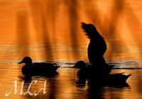 _Sunset Mallards