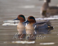 Green-wing Teal
