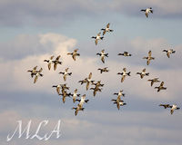 Canvasbacks in the sky.